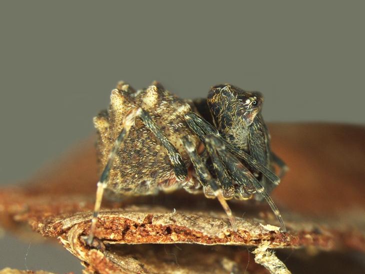 assassin-spider-zephyrarchaea-mainae-female_1-resampled2