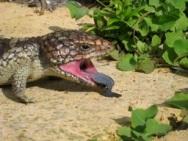 Blue Tongued Lizard
