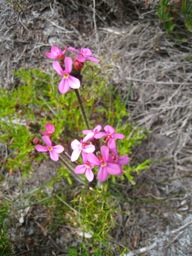 Trigger Plant Frenchman Bay