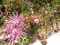 Isopogon Formosus