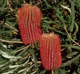 Banksia brownii