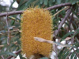 Golden Stalk Banksia