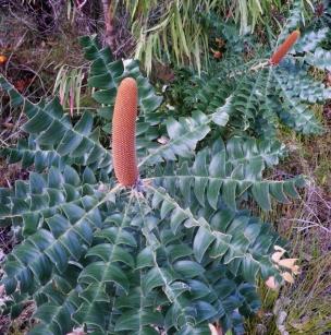Banksia Grandis Bull Banksia