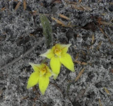 Cowslip Orchids