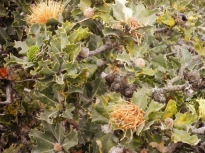 Holly-leafed Banksia