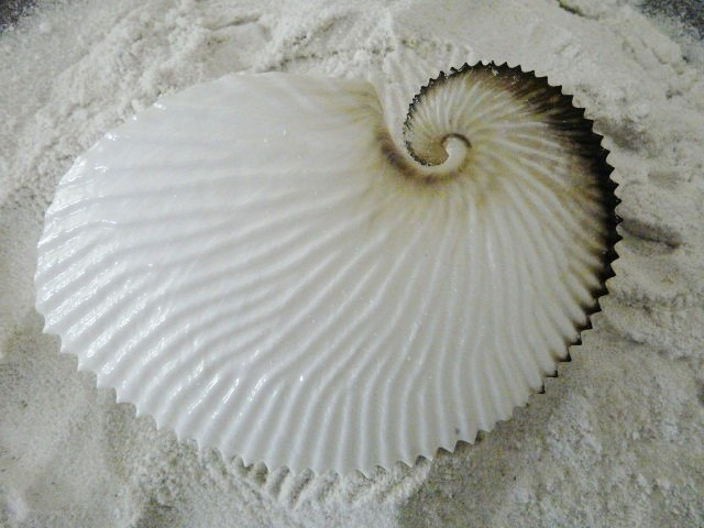 Australian argonaut (paper nautilus) shell 1