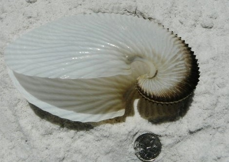 Australian argonaut (paper nautilus) shell 2